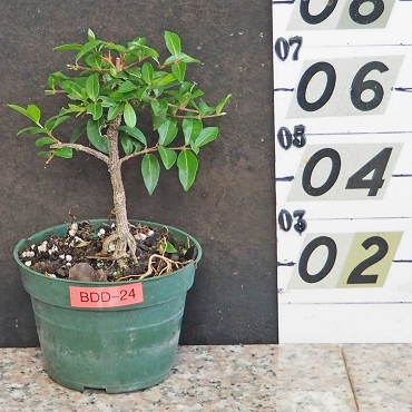 Barbados Cherry Pre-Bonsai