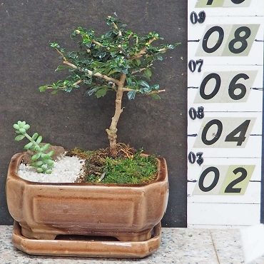Fukien Tea Tree-Small Leaf
