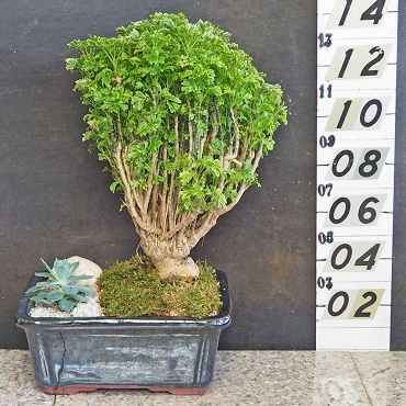 Variegated Parsley Aralia