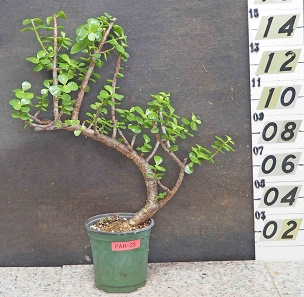 Elephant Bush Pre-Bonsai