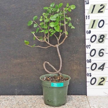 Chinese Sweet Plum Pre-Bonsai