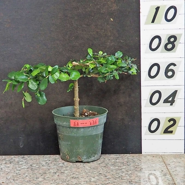 Singapore Holly Pre Bonsai