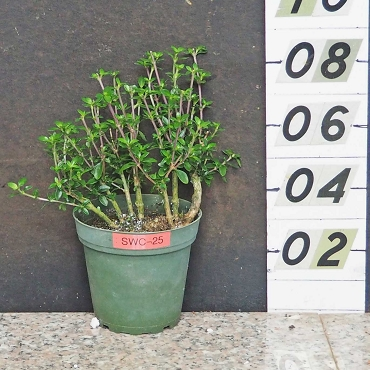 Thousand Star Serissa Pre-Bonsai
