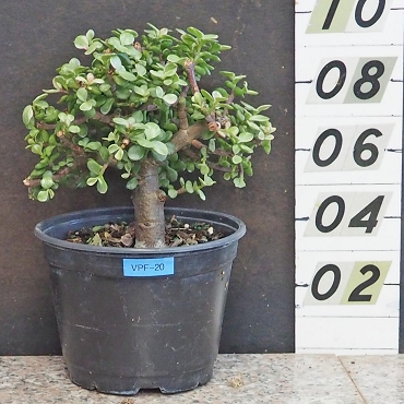 Mini-Leaf Variegated Elephant Bush Pre-Bonsai