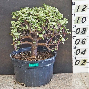 Variegated Elephant Bush Pre-Bonsai