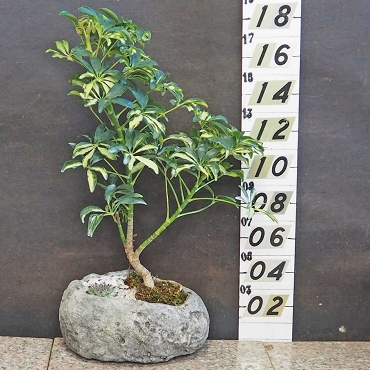 Variegated Hawaiian Umbrella Tree