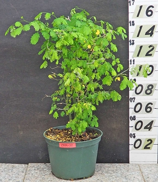 Brazilian Rain Tree Pre-Bonsai